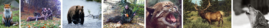 HUNTING IN TRANSYLVANIA, Bear Hunting in Transylvania, Chamois Hunt in Transylvania, Wild Boar Hunt, Red Deer Hunt, Chamois Hunt in Transylvania, Pheasant hunting, Rabbit hunting, Lynx hunting, Red Fox hunting, wildcat hunting, hunting weapons and gear store, hunting gear